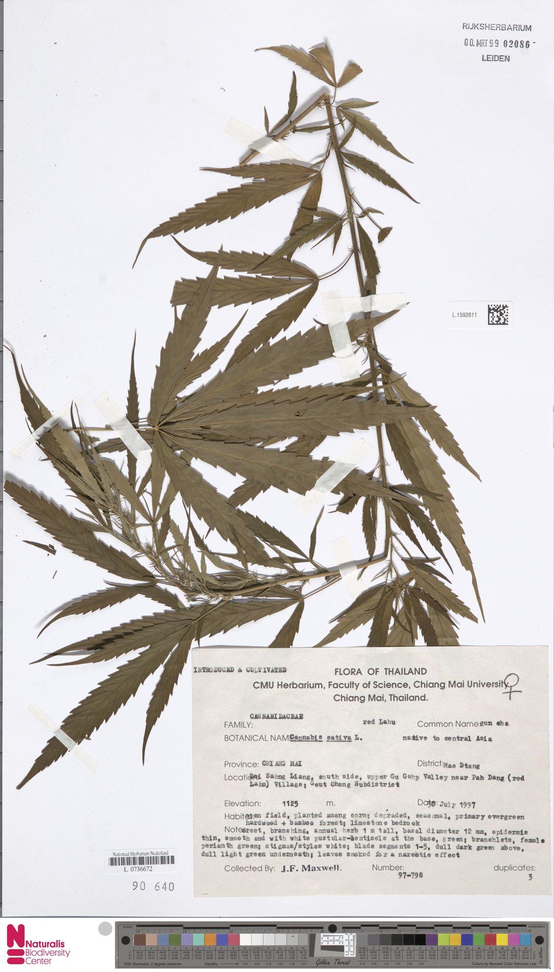 L.1592611 | Cannabis sativa L.