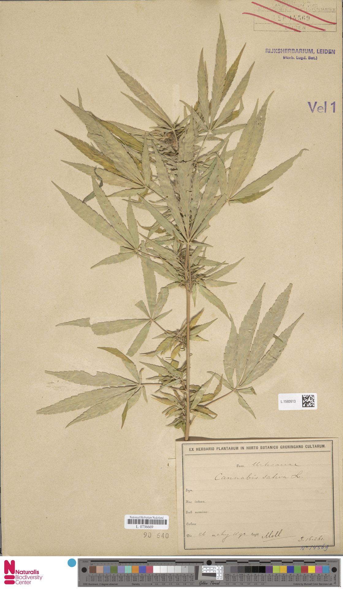 L.1592613 | Cannabis sativa L.