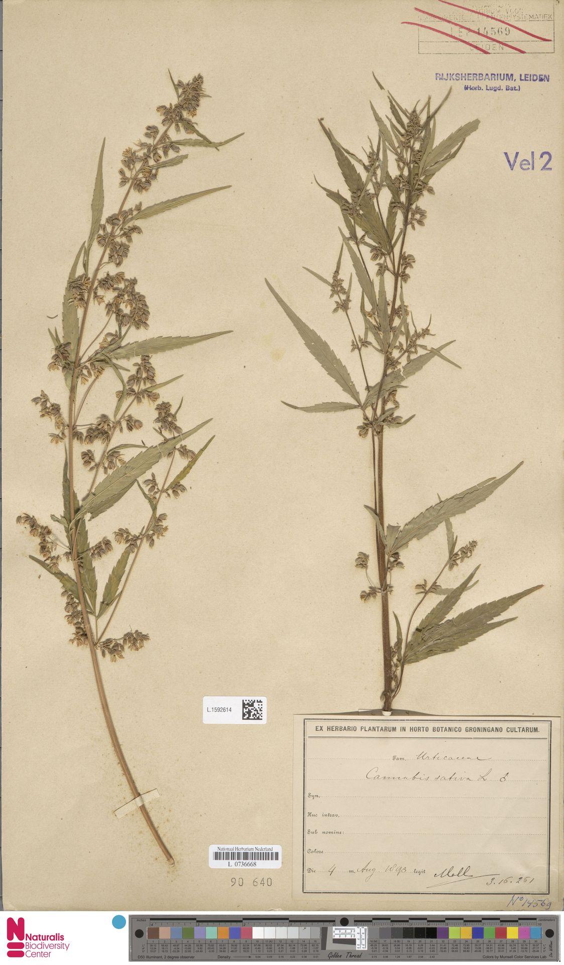 L.1592614 | Cannabis sativa L.