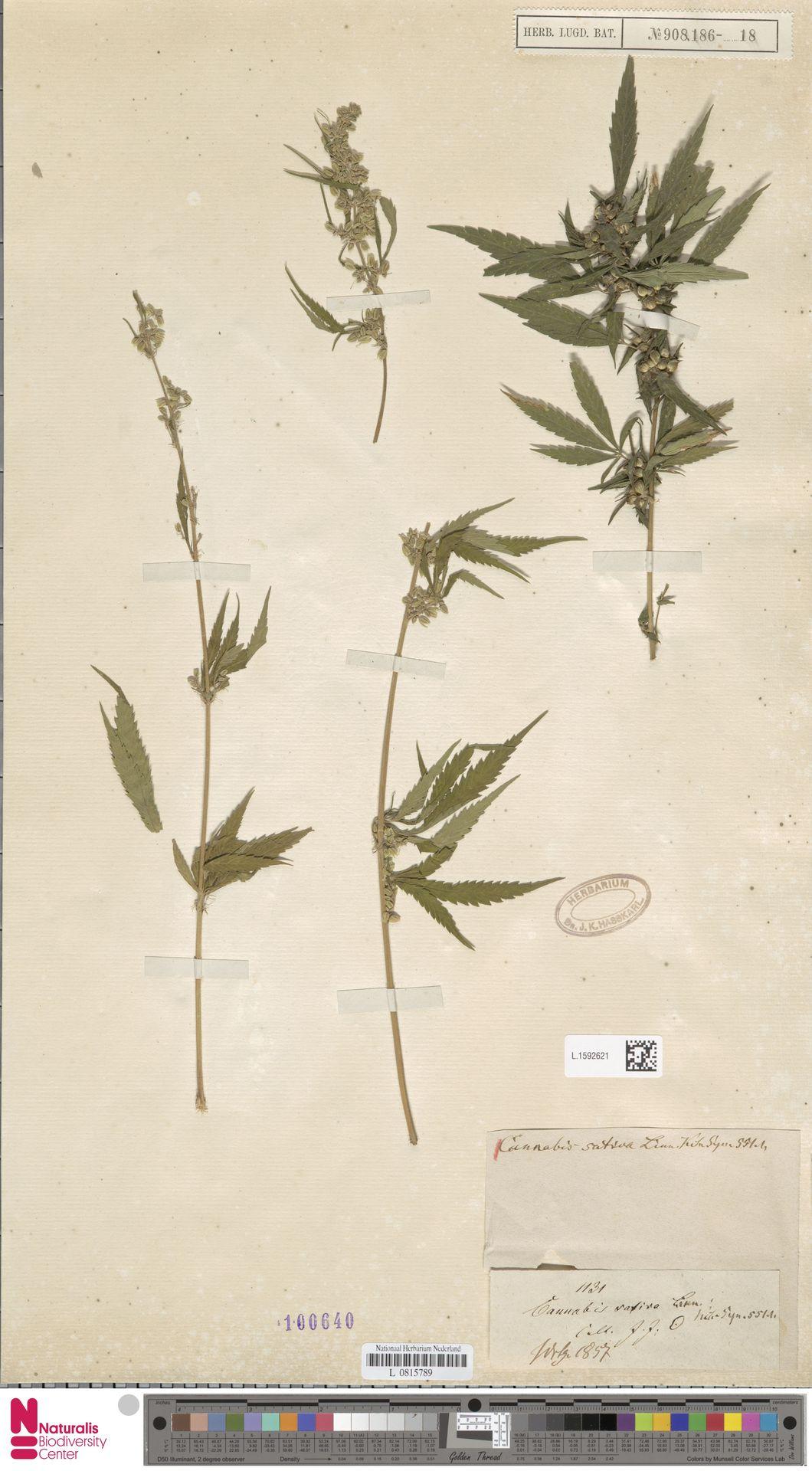 L.1592621 | Cannabis sativa L.