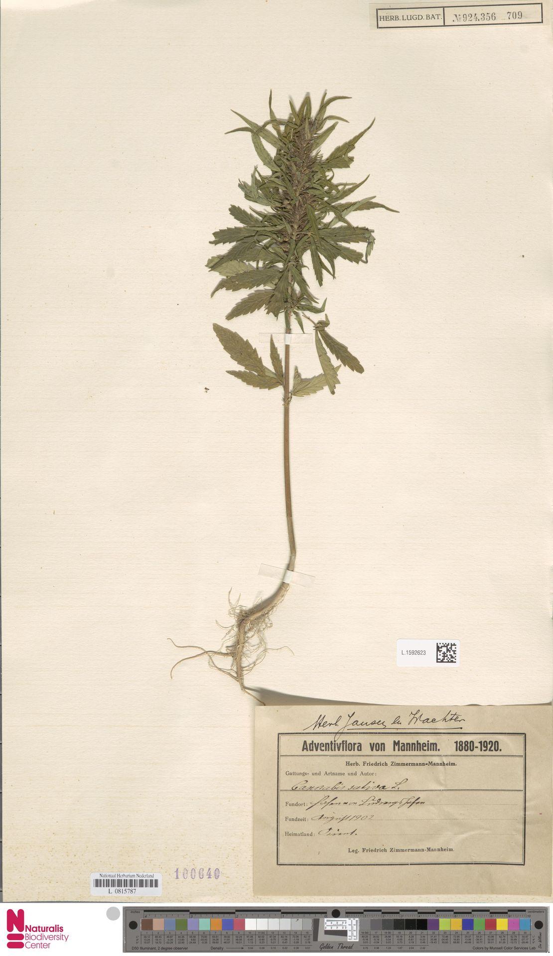 L.1592623 | Cannabis sativa L.