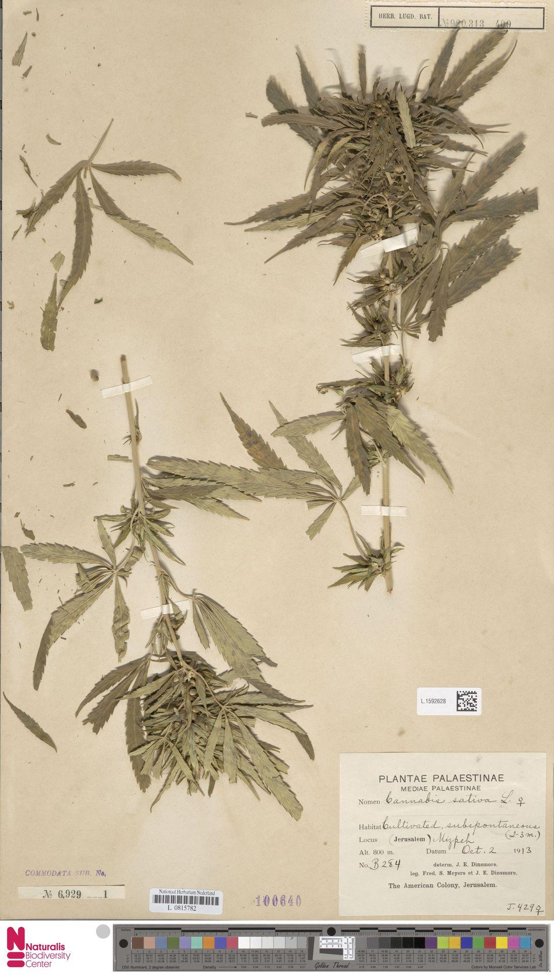 L.1592628 | Cannabis sativa L.