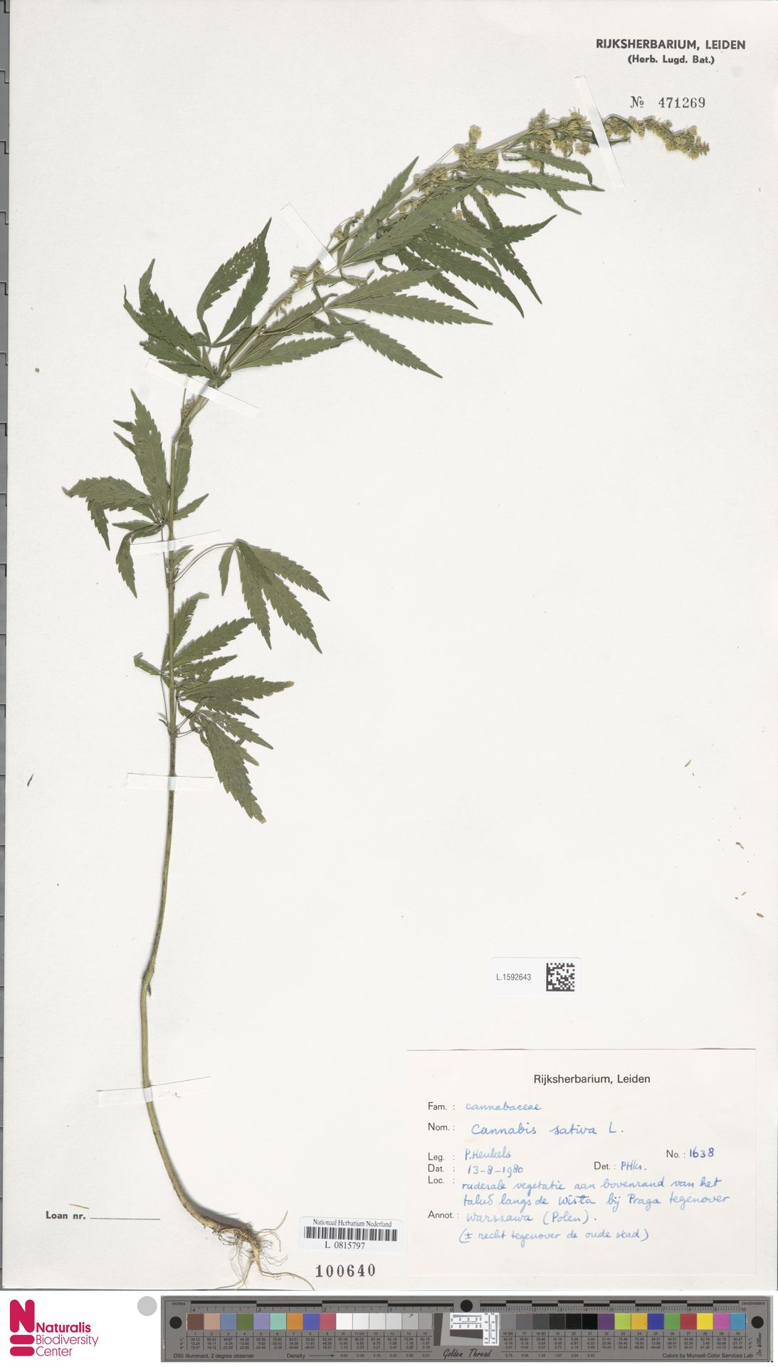 L.1592643   Cannabis sativa L.