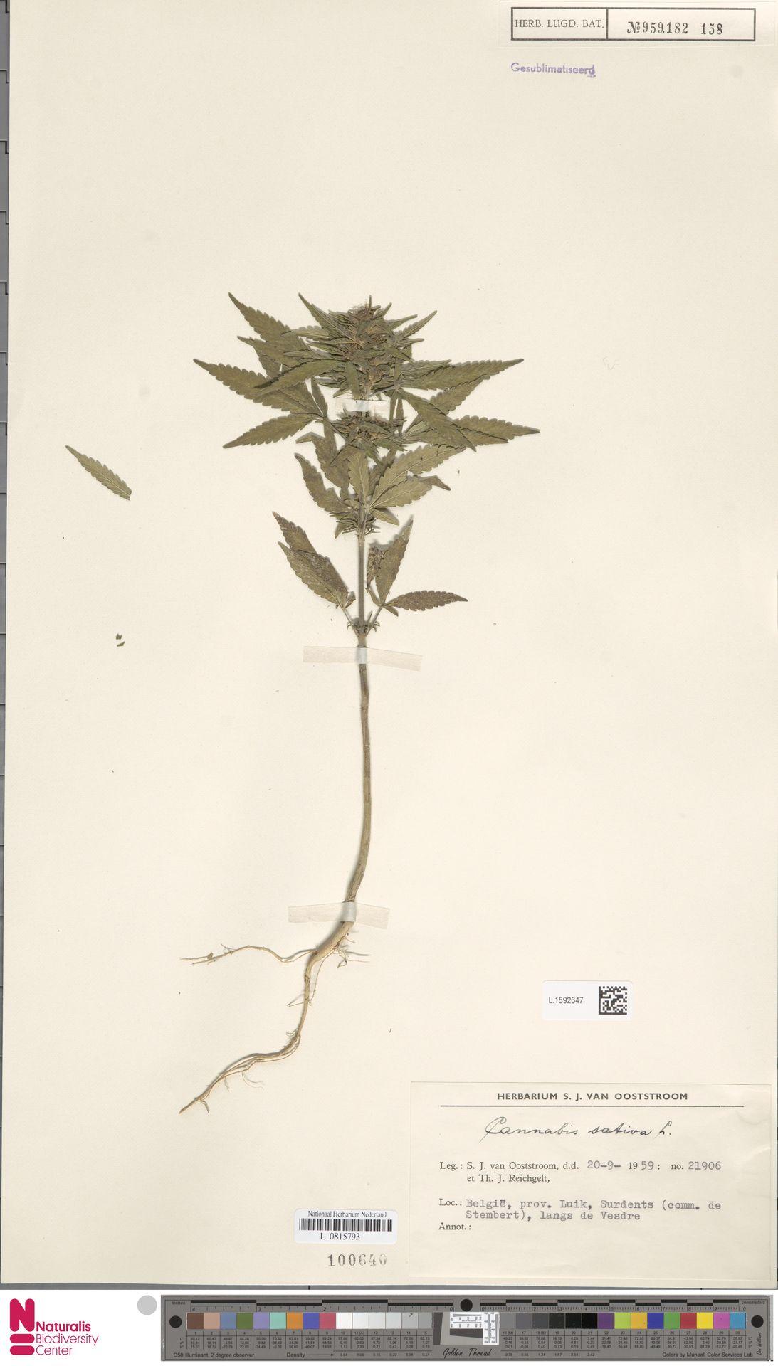 L.1592647 | Cannabis sativa L.