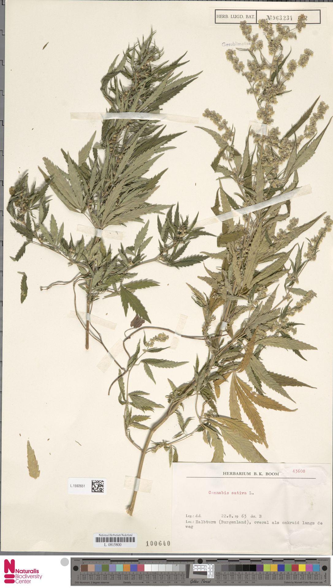 L.1592651   Cannabis sativa L.