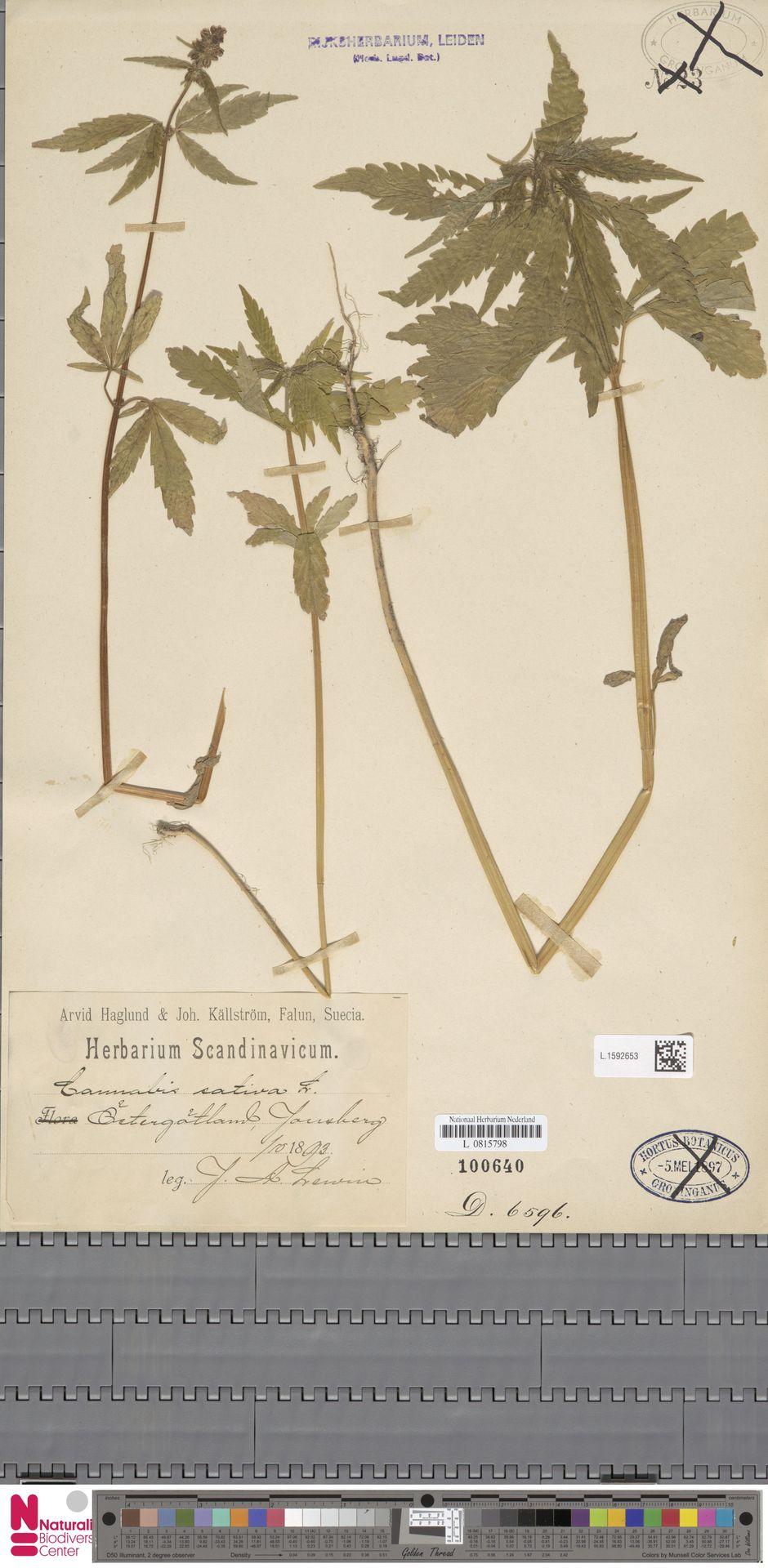 L.1592653   Cannabis sativa L.