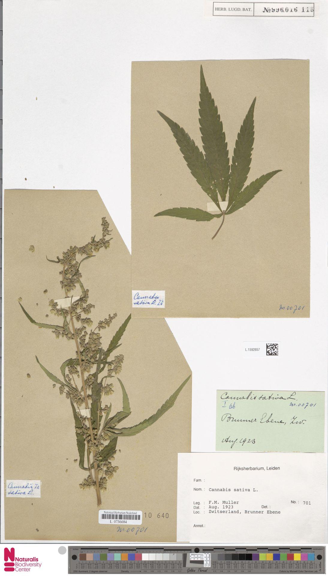 L.1592657 | Cannabis sativa L.