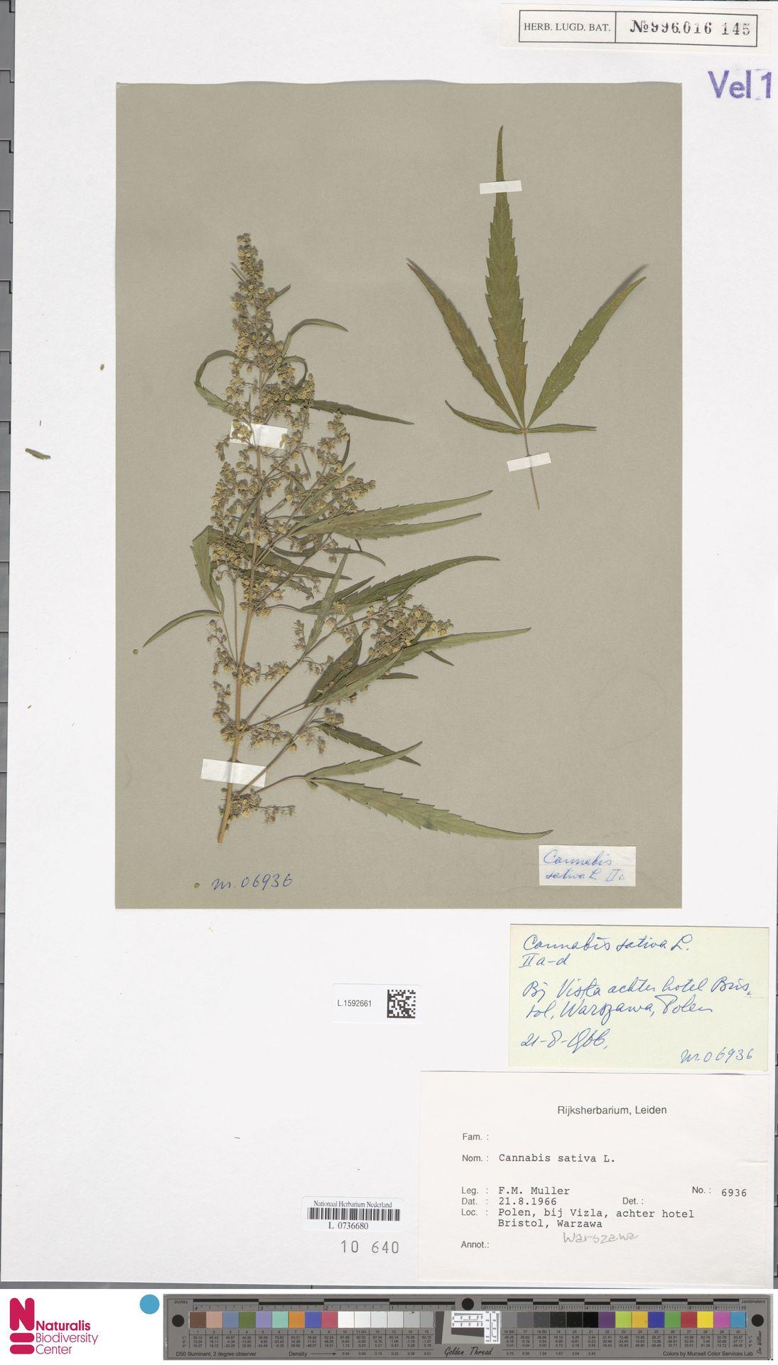 L.1592661 | Cannabis sativa L.