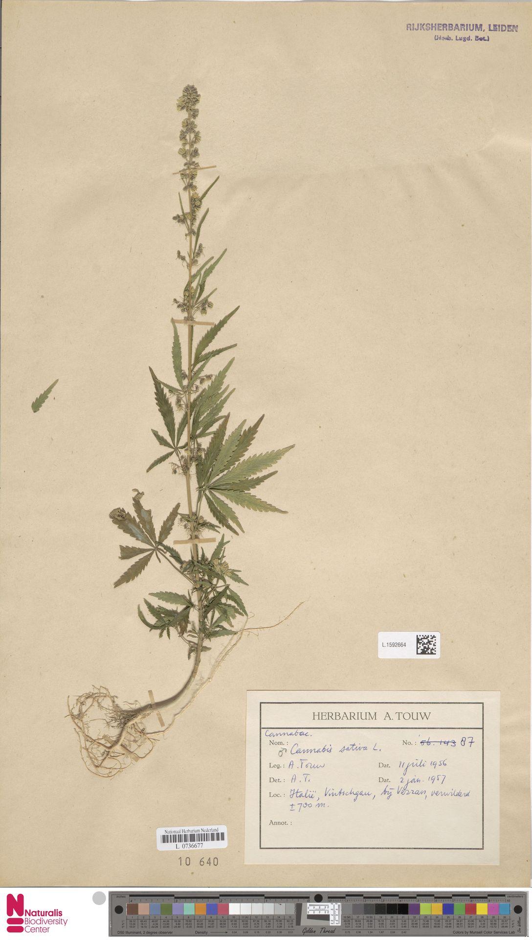 L.1592664 | Cannabis sativa L.