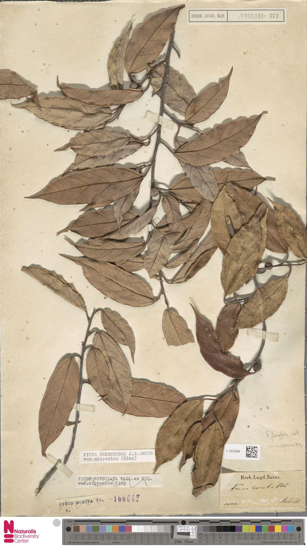 L.1616394 | Ficus sarmentosa var. nipponica King
