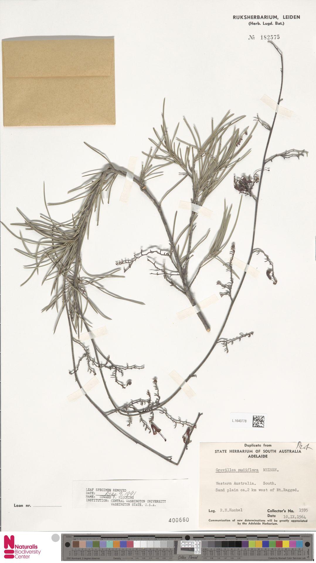 L.1640778 | Grevillea nudiflora Meisn.