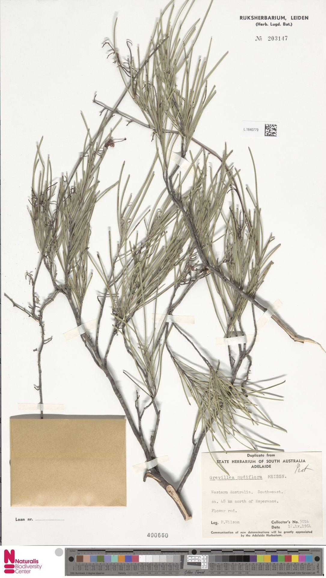 L.1640779 | Grevillea nudiflora Meisn.