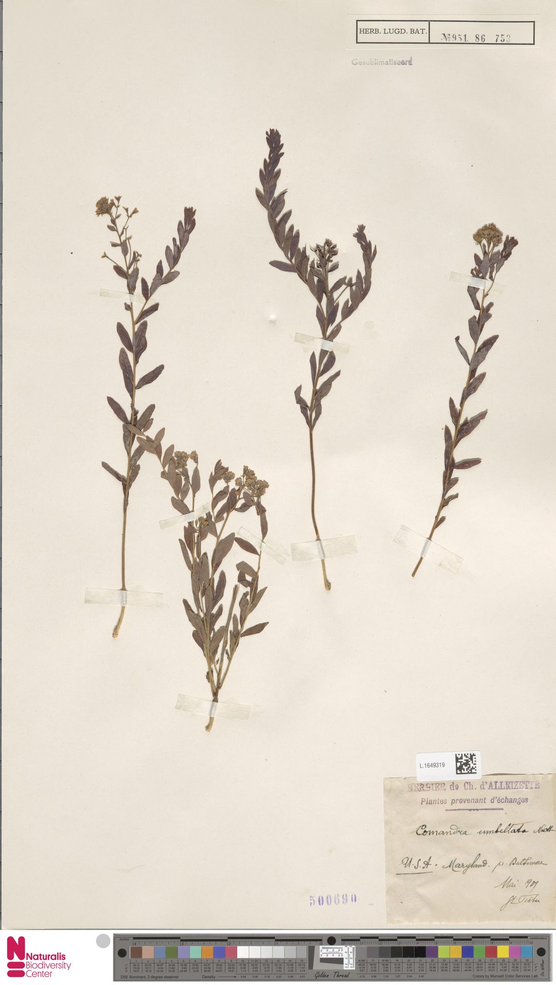 L.1649319   Comandra umbellata (L.) Nutt.