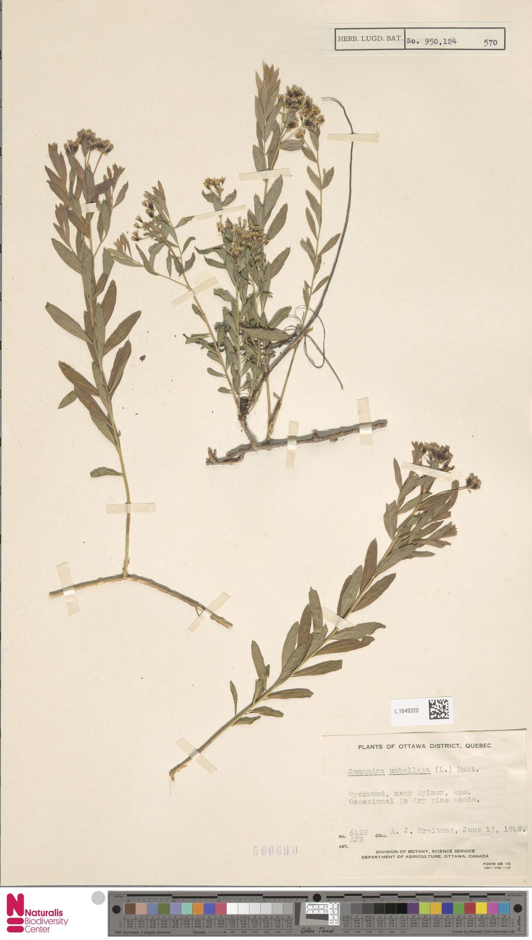 L.1649320 | Comandra umbellata (L.) Nutt.