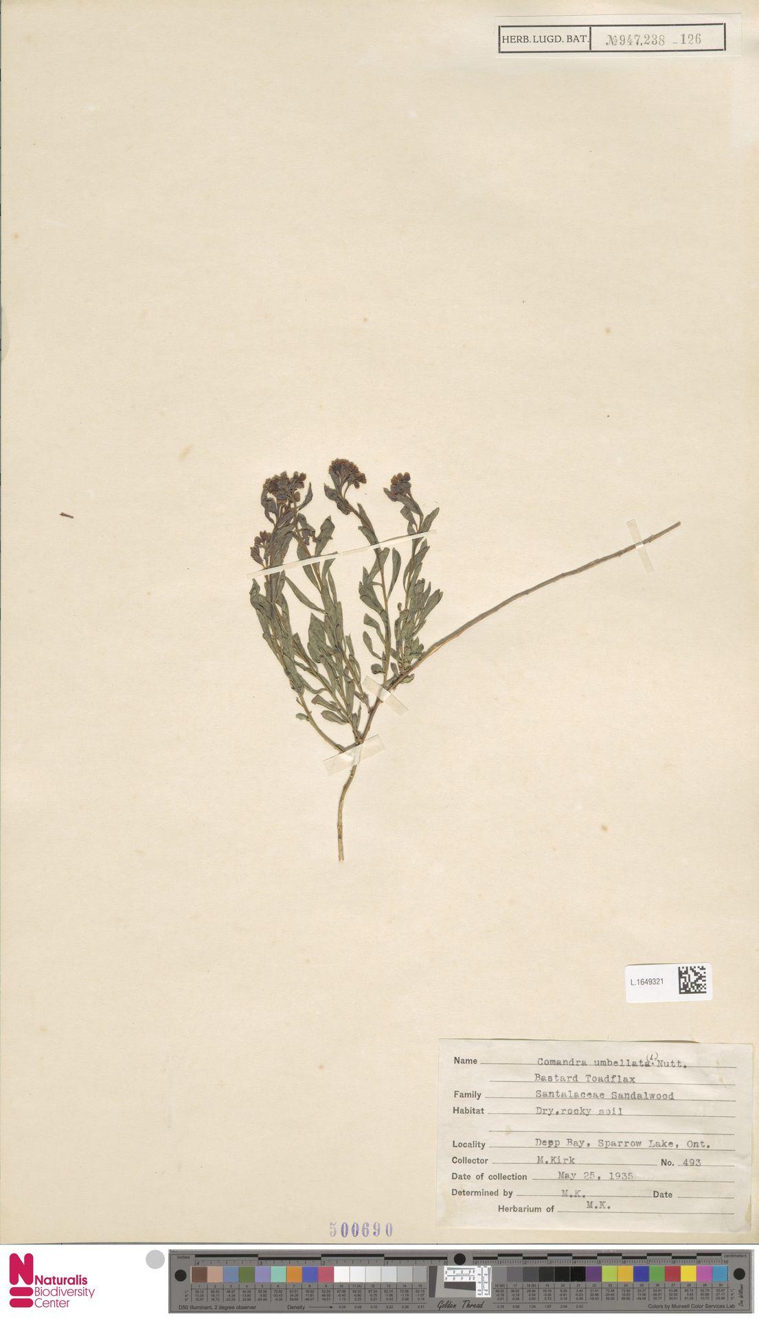 L.1649321   Comandra umbellata (L.) Nutt.