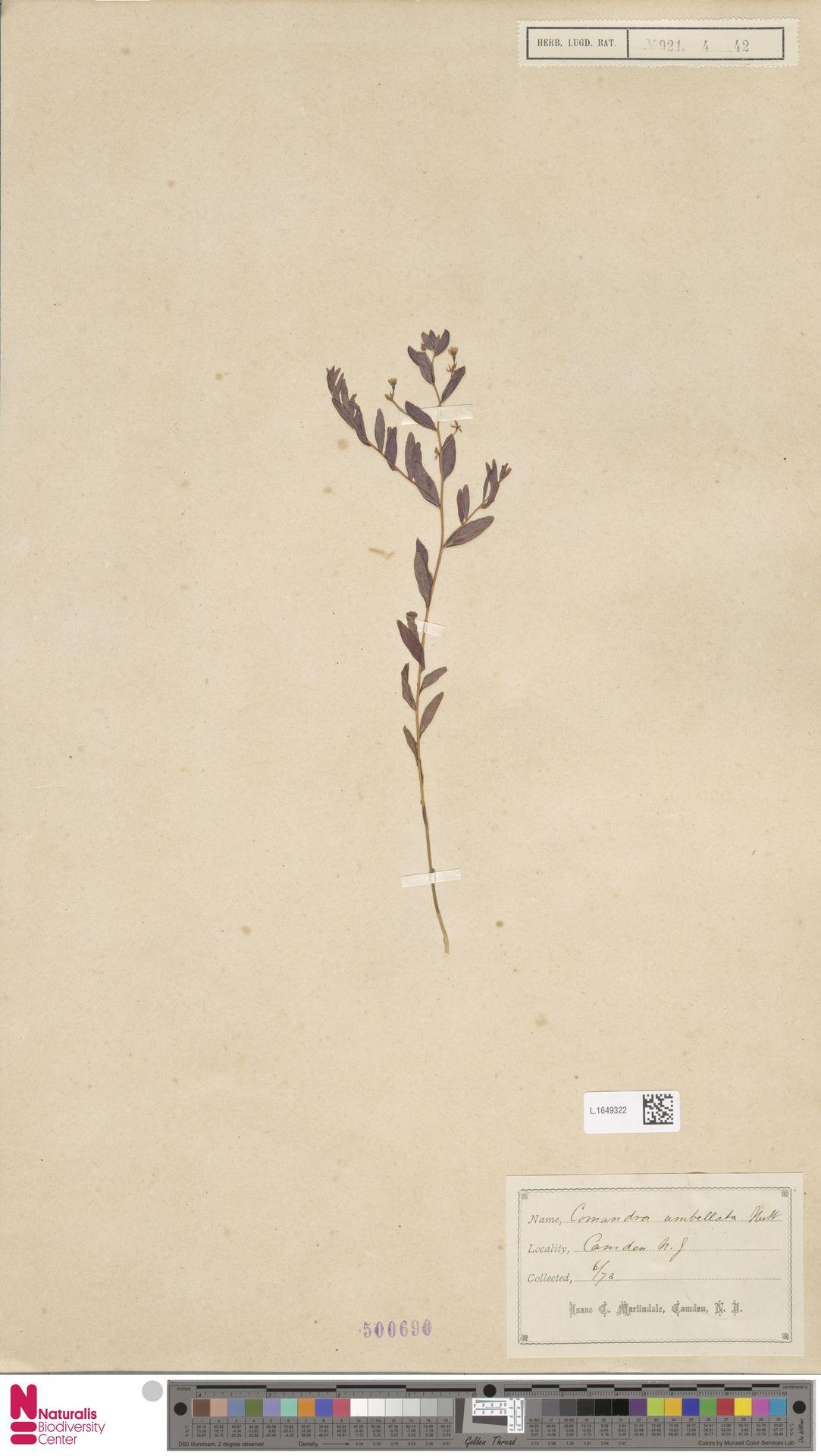 L.1649322 | Comandra umbellata (L.) Nutt.