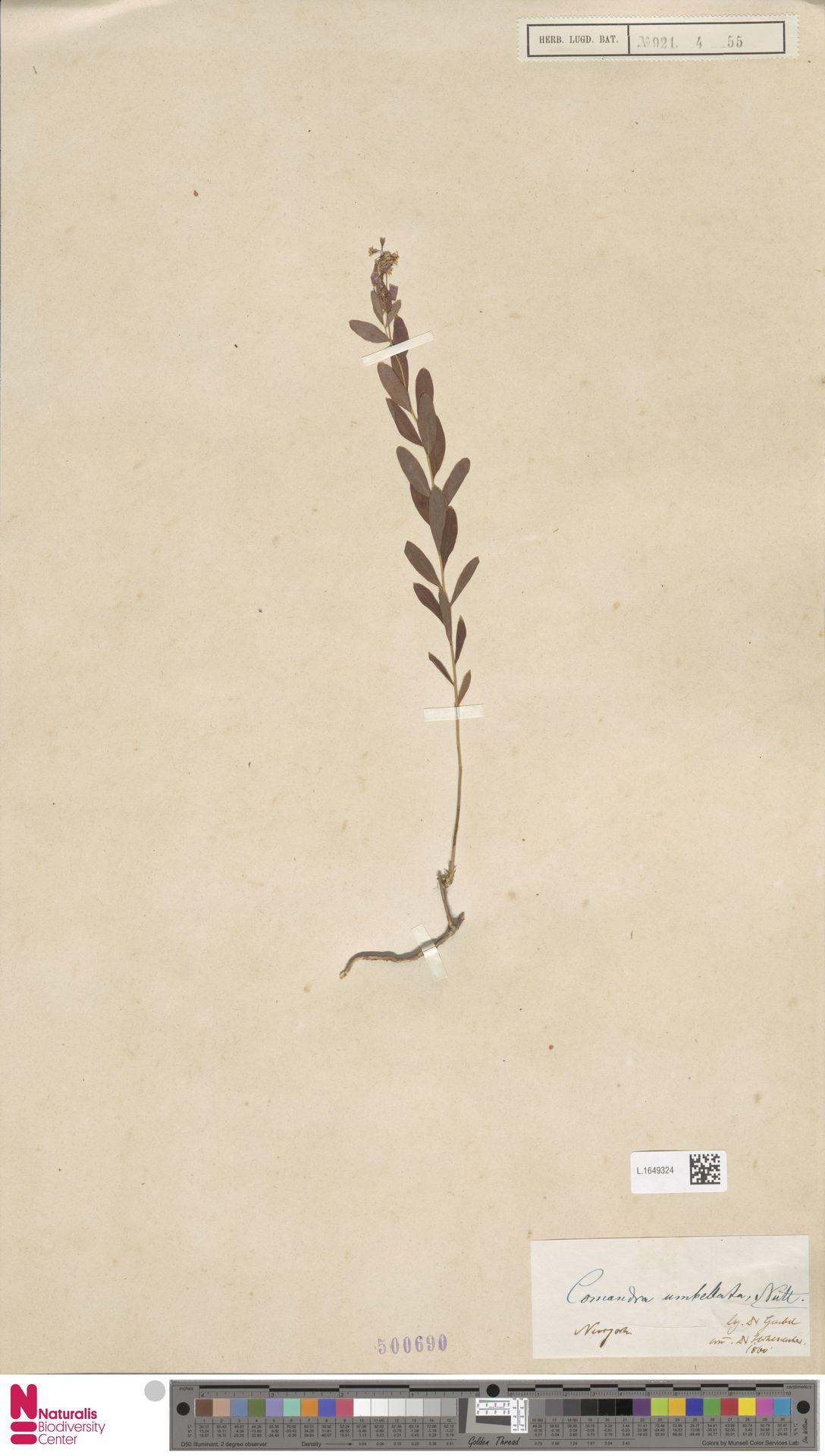 L.1649324 | Comandra umbellata (L.) Nutt.