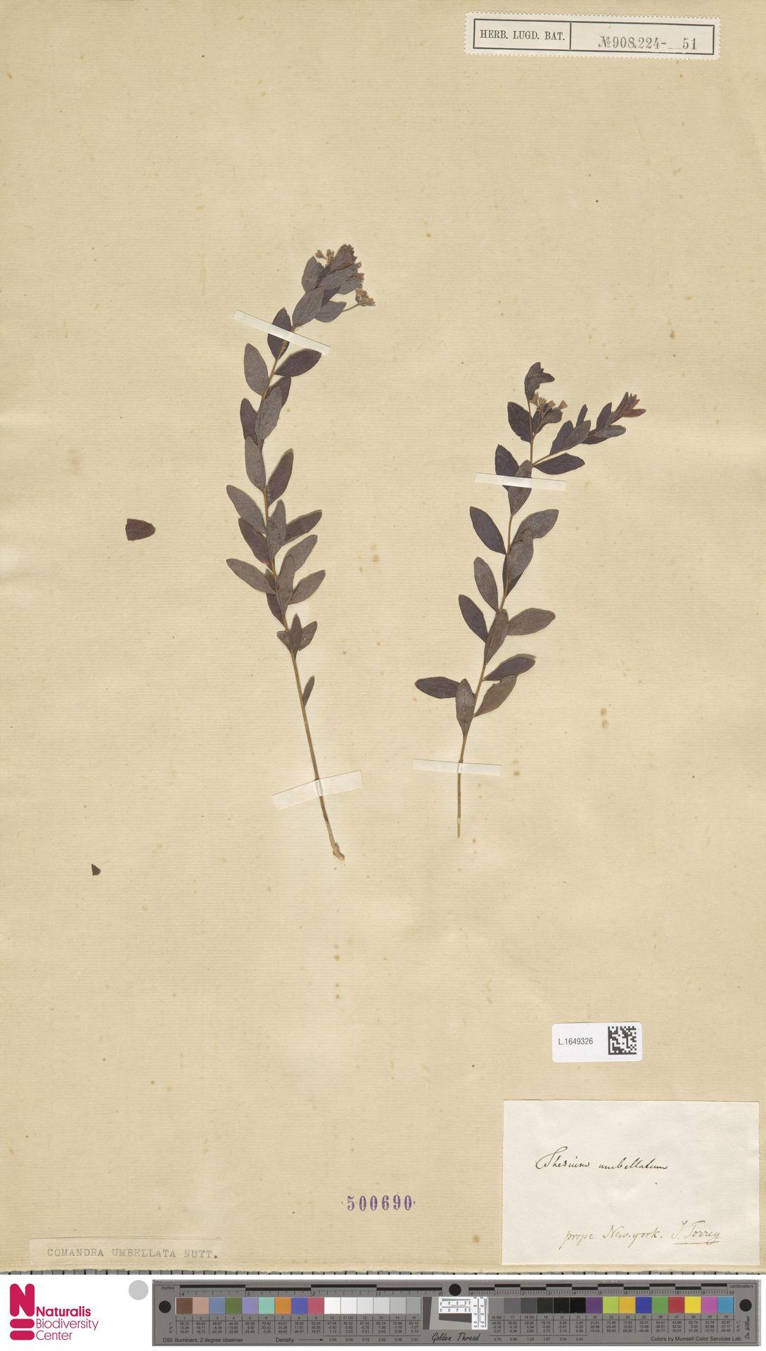 L.1649326 | Comandra umbellata (L.) Nutt.
