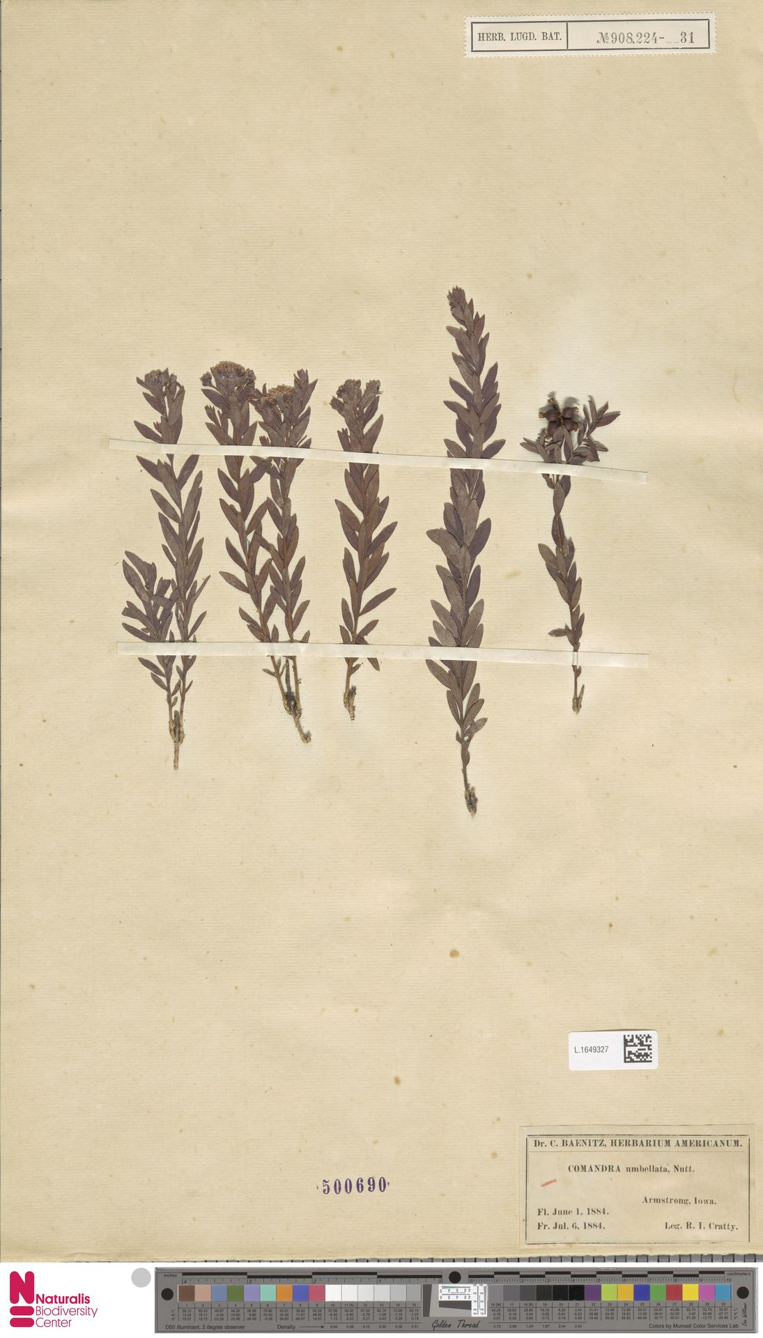 L.1649327 | Comandra umbellata (L.) Nutt.