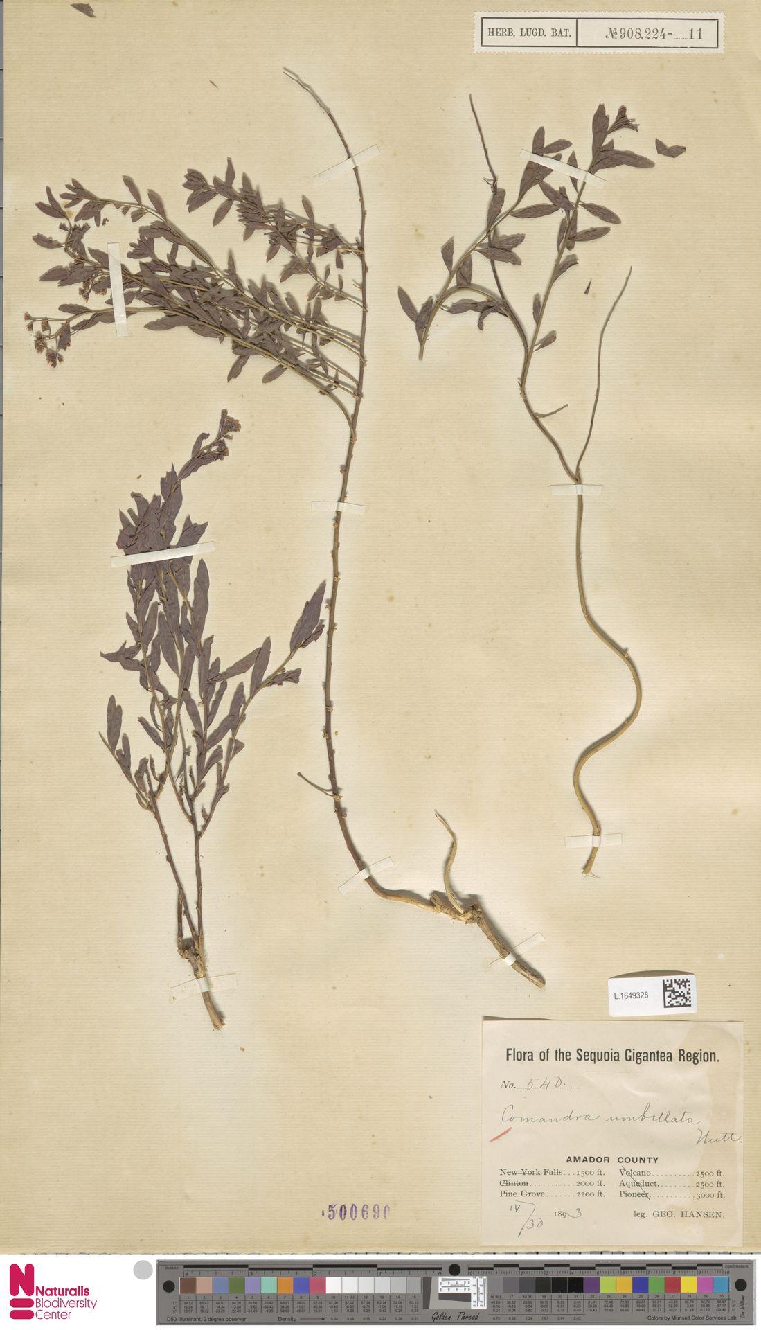 L.1649328 | Comandra umbellata (L.) Nutt.
