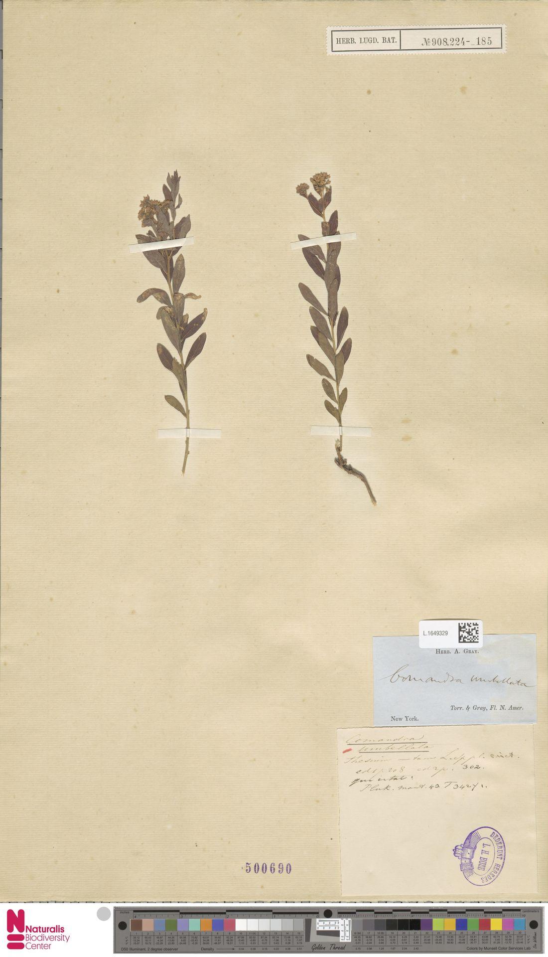 L.1649329 | Comandra umbellata (L.) Nutt.