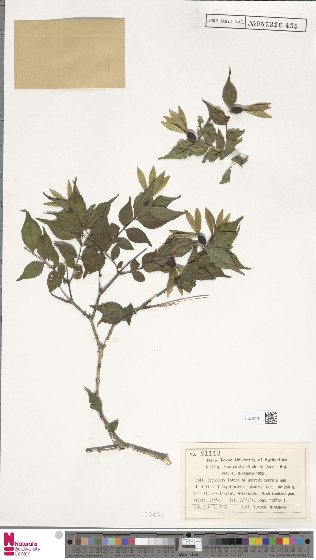 L.1649748 | Buckleya lanceolata (Siebold & Zucc.) Miq.
