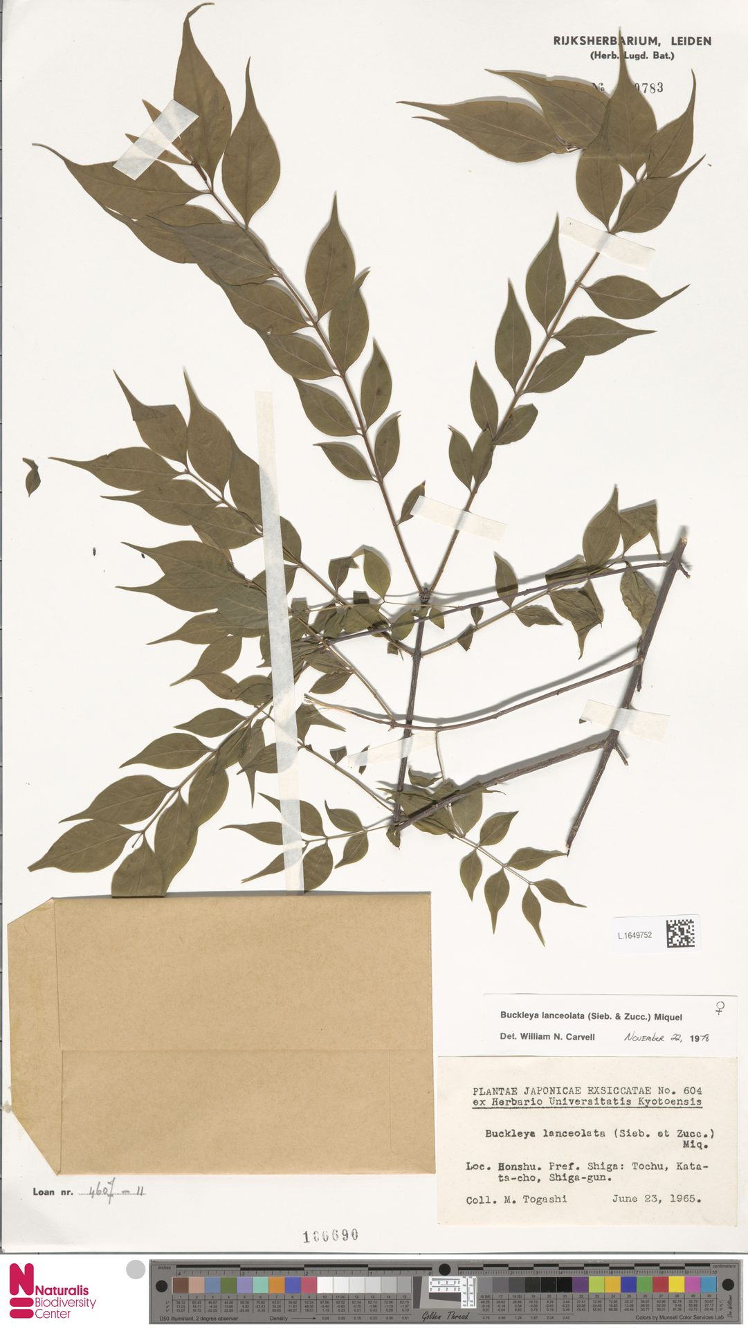 L.1649752   Buckleya lanceolata (Siebold & Zucc.) Miq.