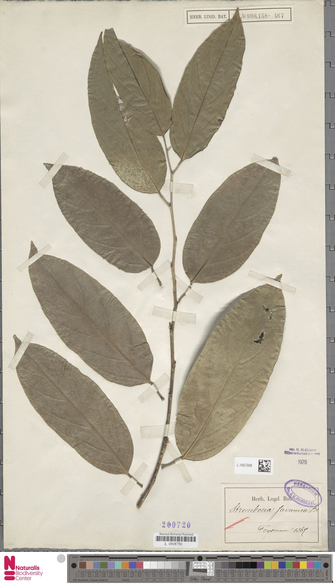 L.1657308 | Strombosia javanica Blume