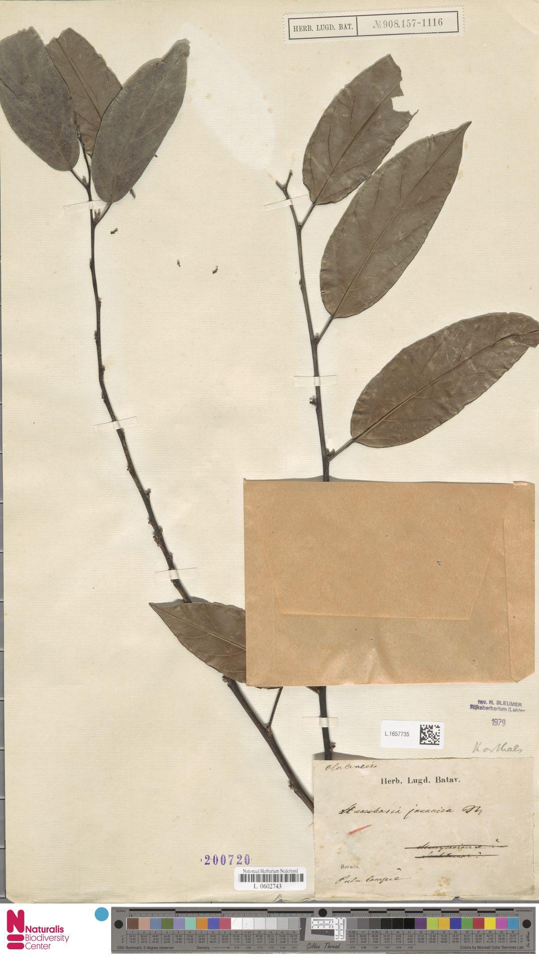 L.1657735 | Strombosia javanica Blume