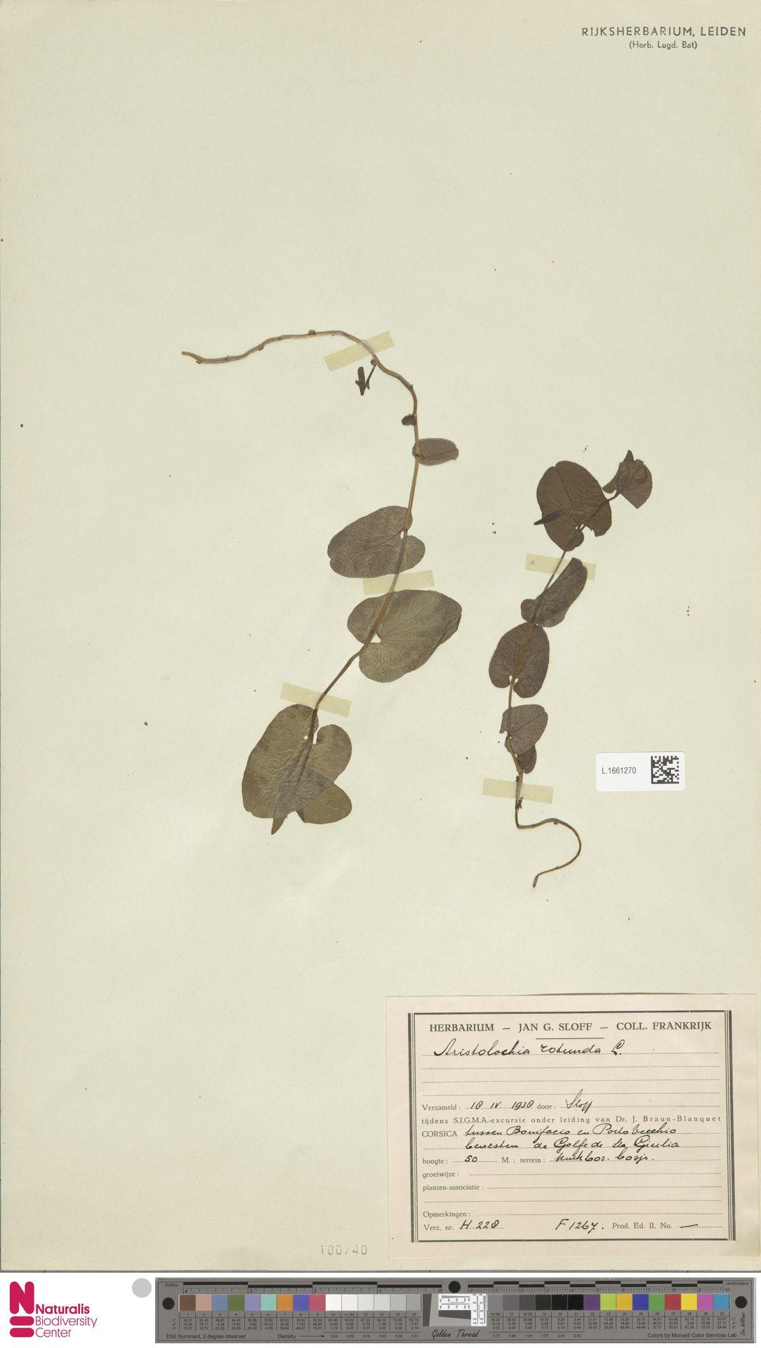 L.1661270 | Aristolochia rotunda L.