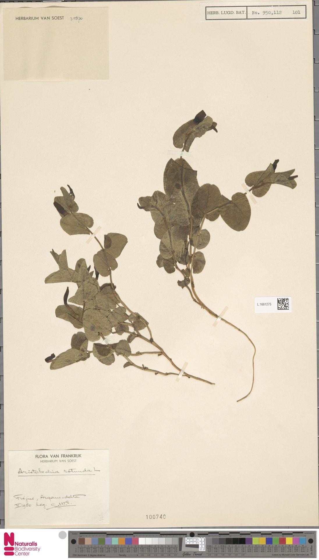 L.1661275   Aristolochia rotunda L.
