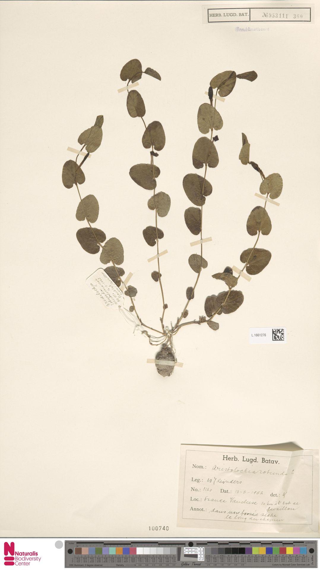 L.1661276 | Aristolochia rotunda L.