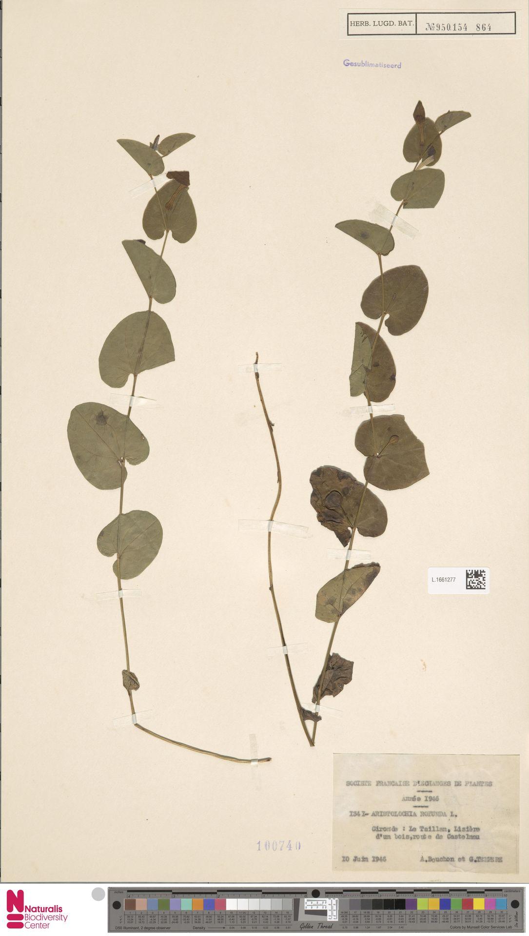L.1661277 | Aristolochia rotunda L.
