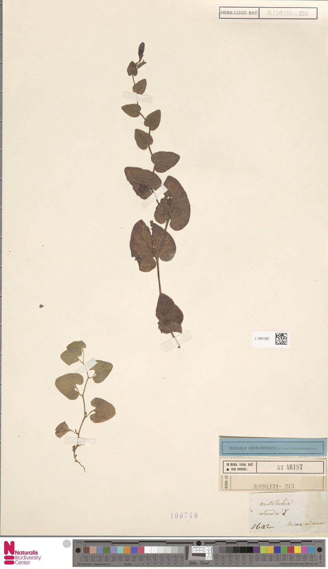 L.1661282   Aristolochia rotunda L.
