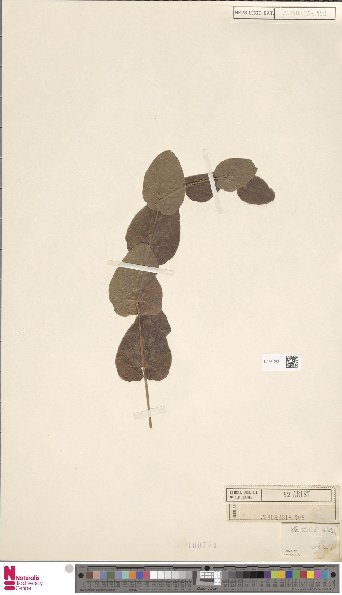 L.1661283 | Aristolochia rotunda L.