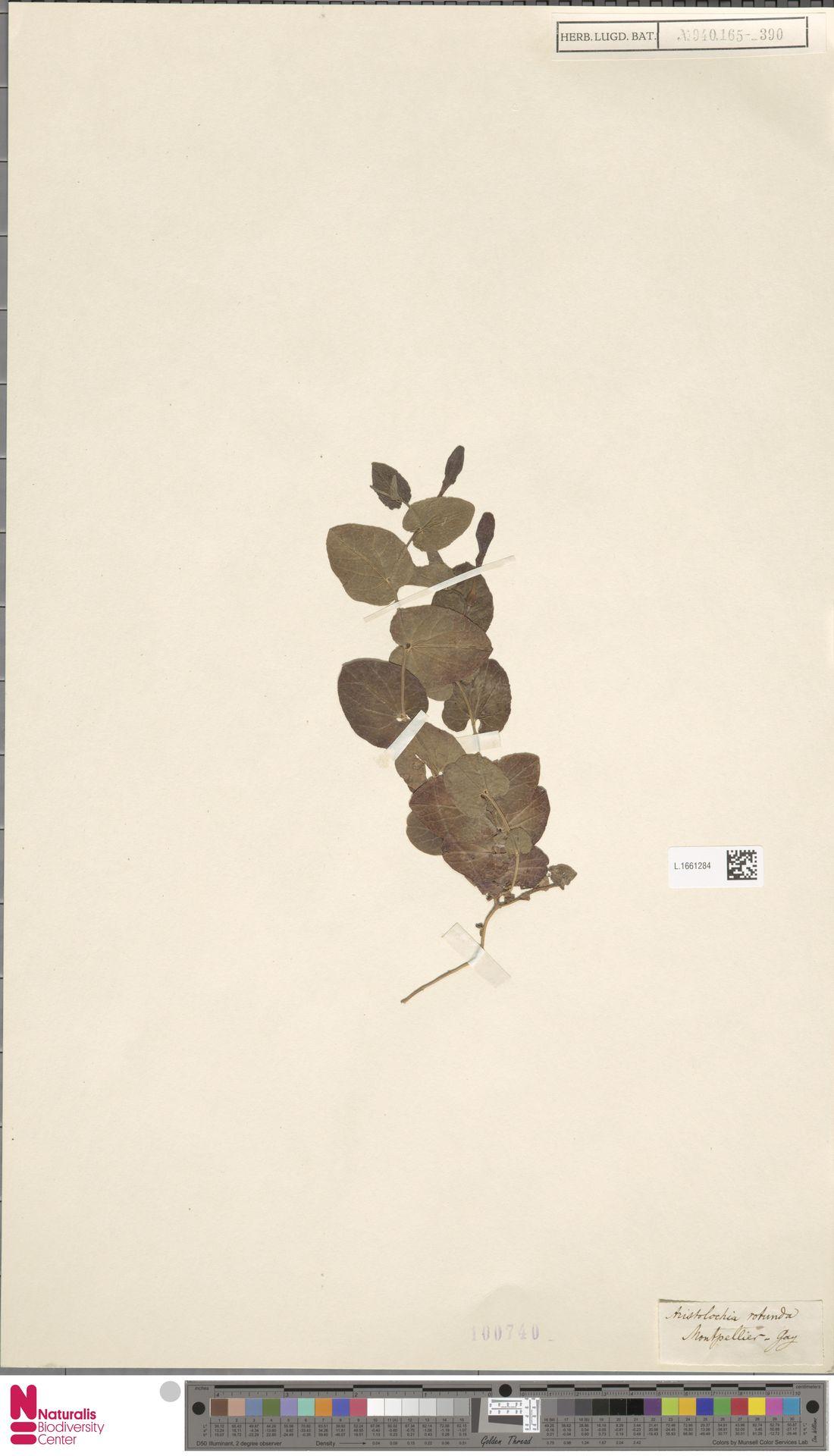 L.1661284 | Aristolochia rotunda L.