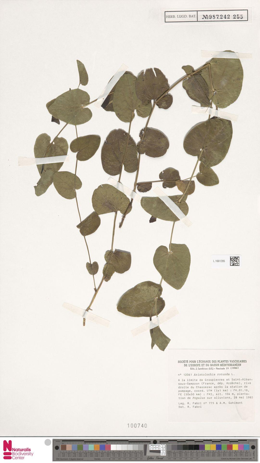 L.1661285   Aristolochia rotunda L.