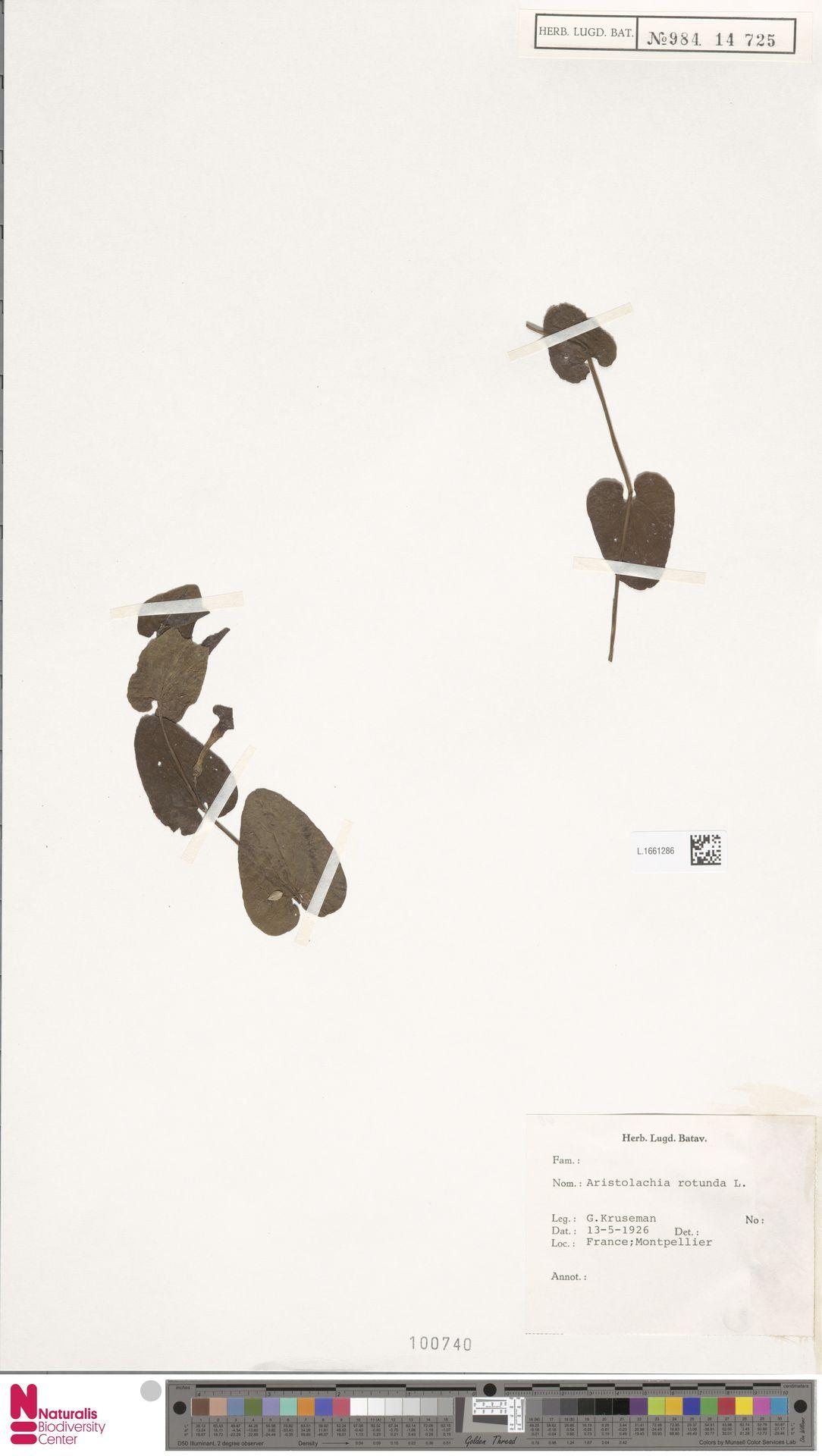 L.1661286 | Aristolochia rotunda L.