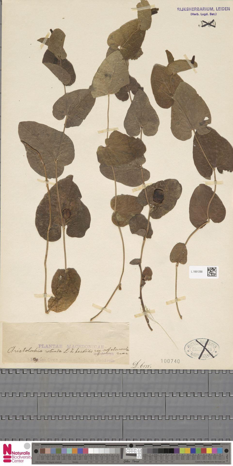 L.1661288 | Aristolochia rotunda L.