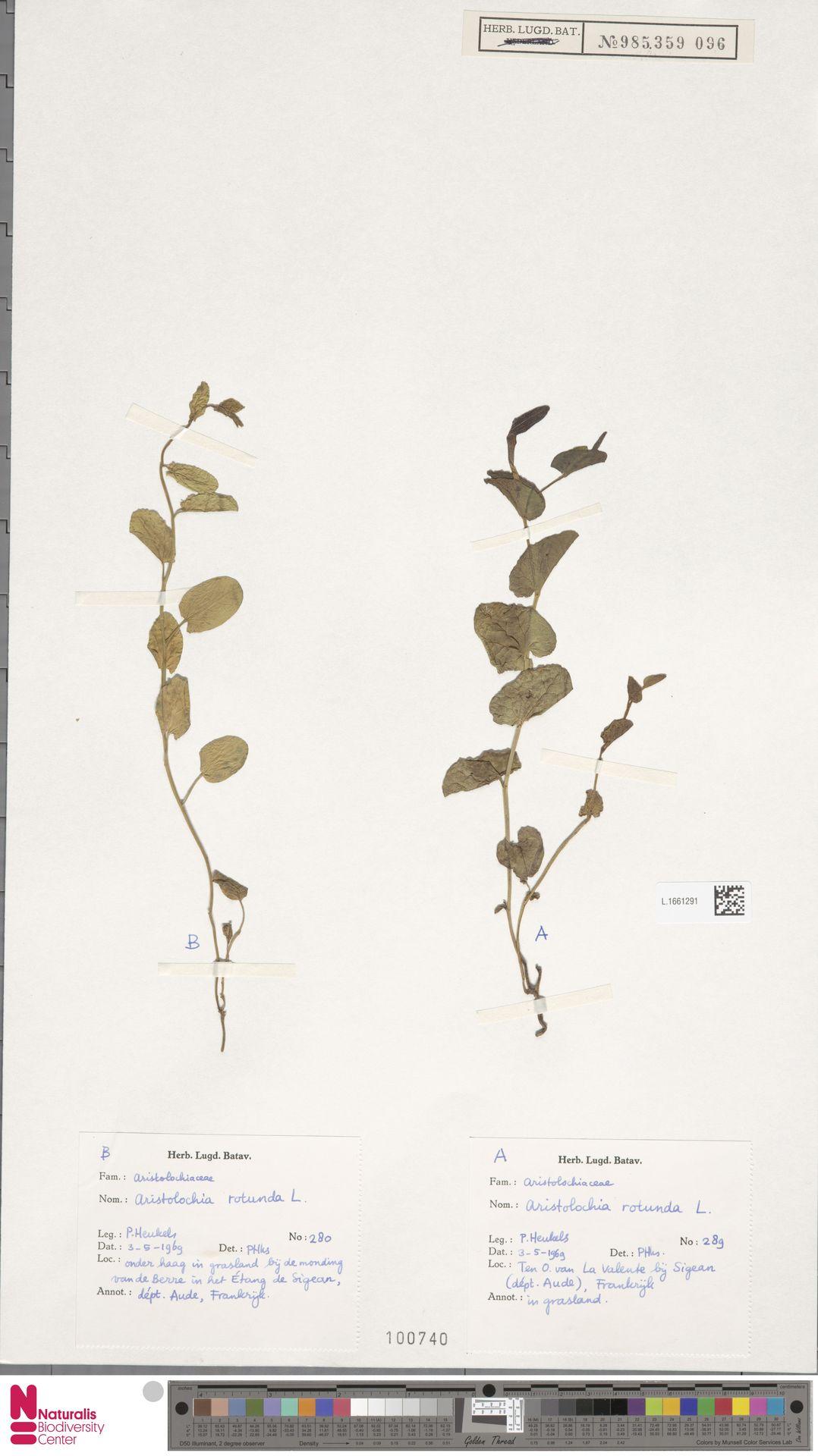 L.1661291 | Aristolochia rotunda L.