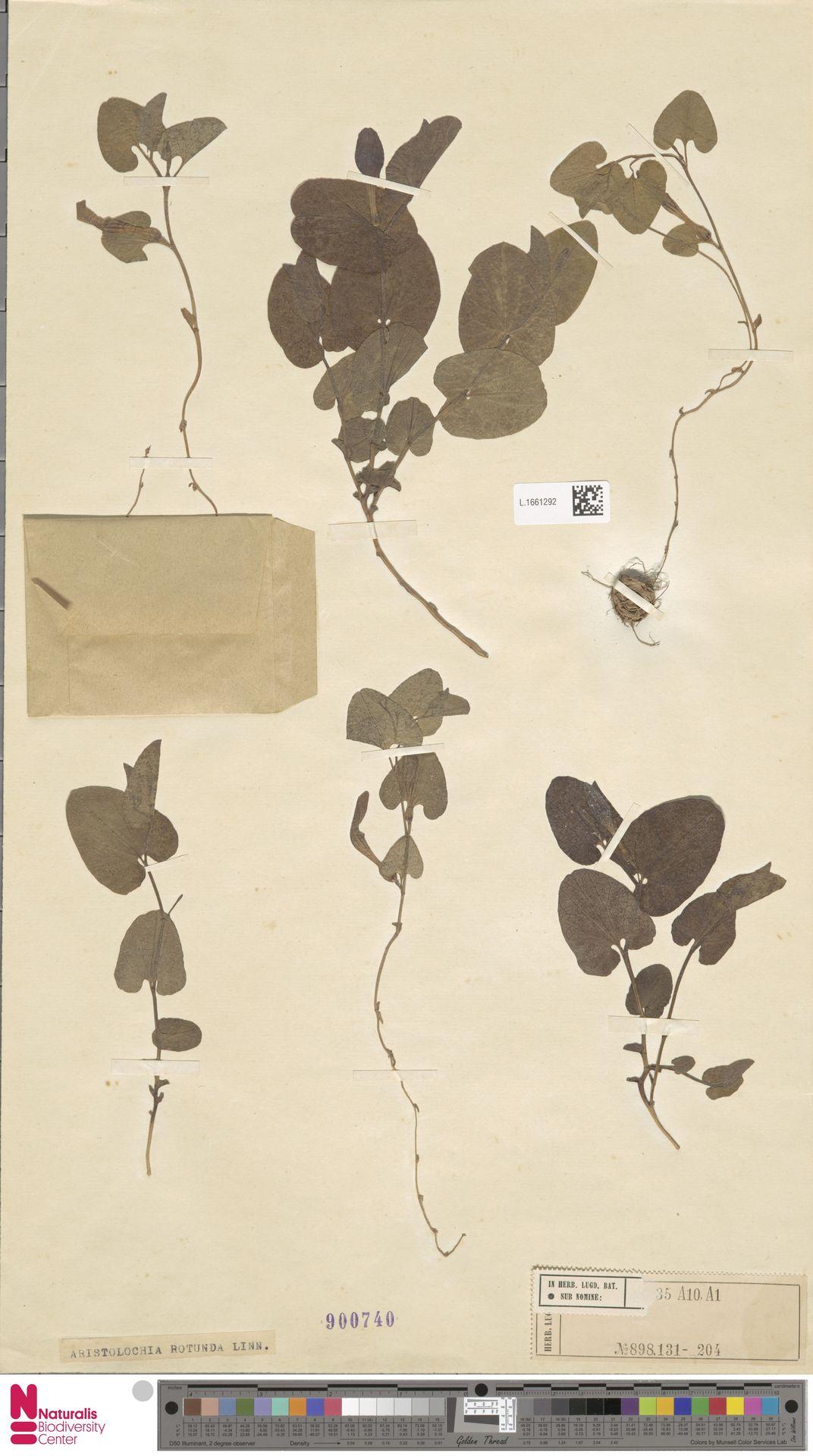 L.1661292 | Aristolochia rotunda L.