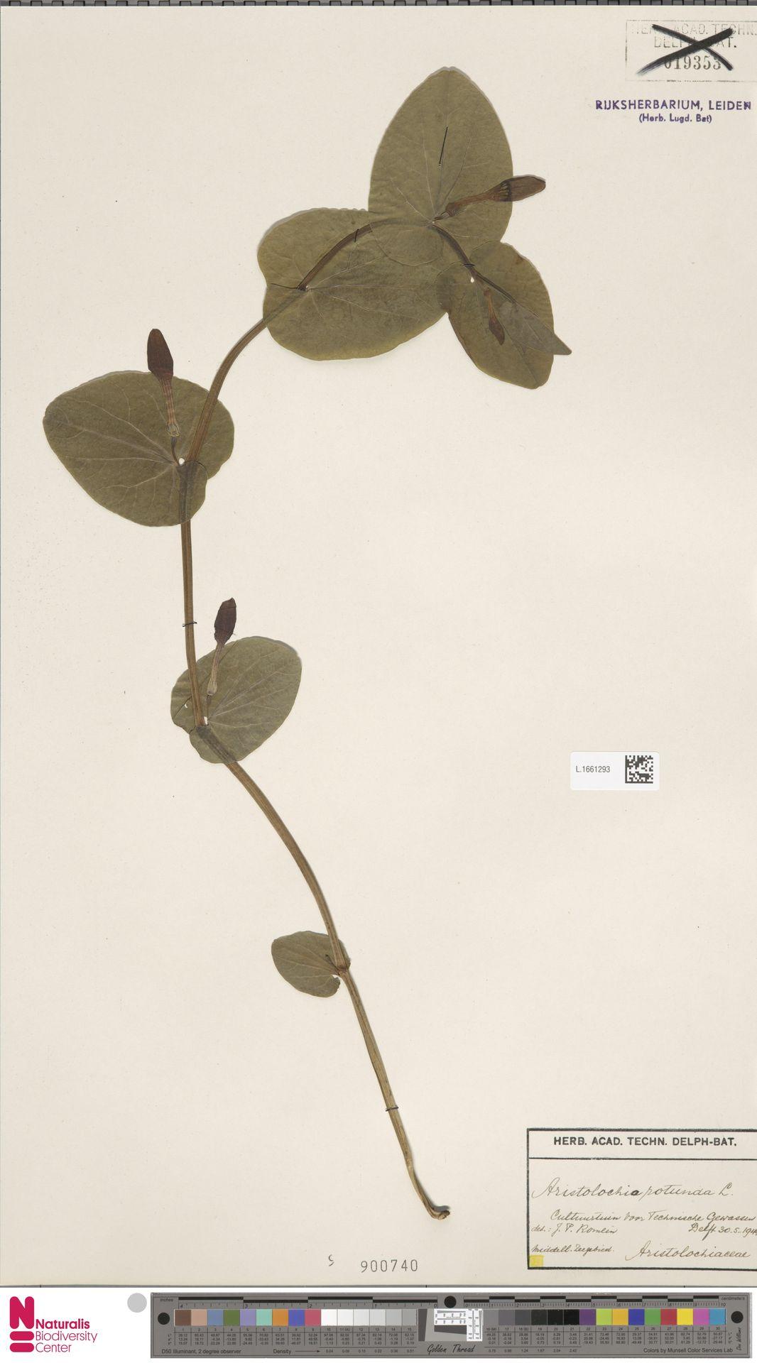 L.1661293 | Aristolochia rotunda L.