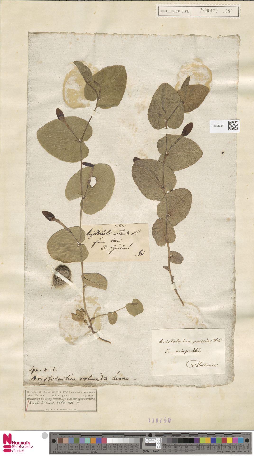 L.1661344 | Aristolochia rotunda L.