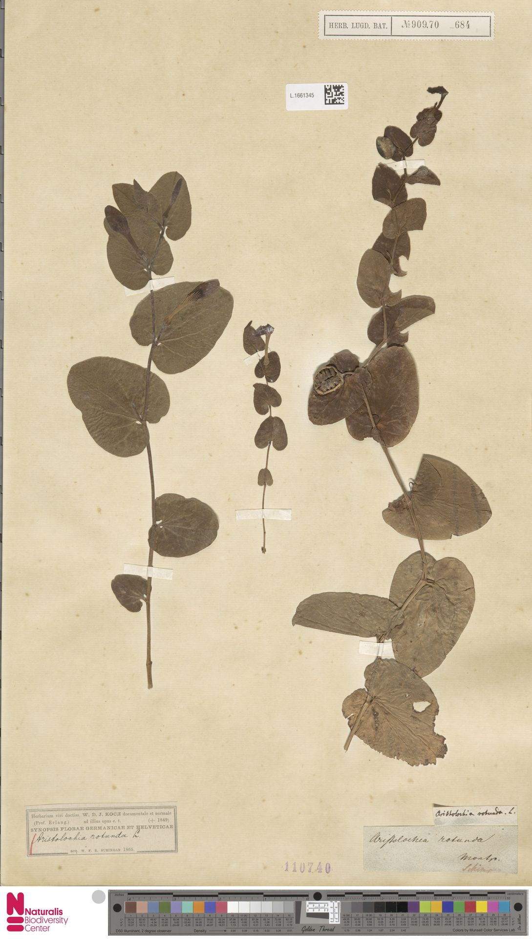 L.1661345 | Aristolochia rotunda L.