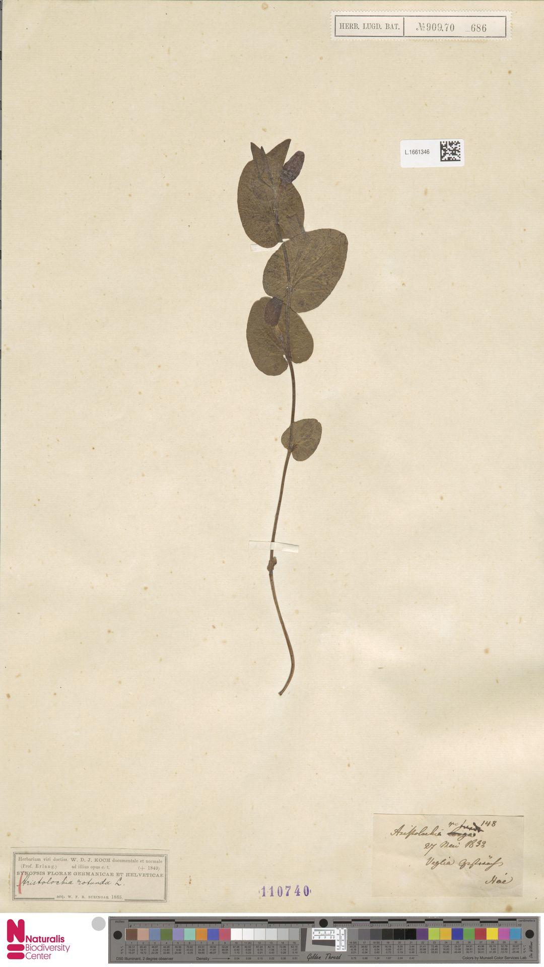 L.1661346 | Aristolochia rotunda L.