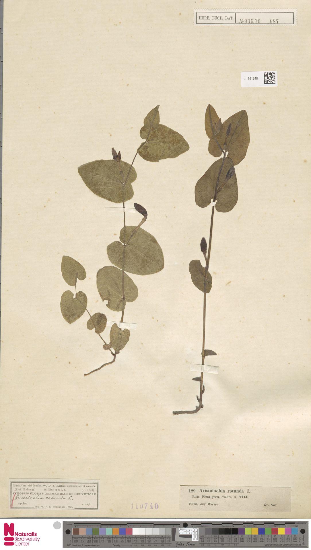 L.1661348 | Aristolochia rotunda L.