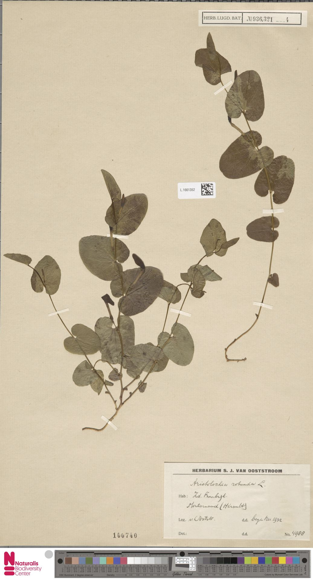 L.1661352 | Aristolochia rotunda L.