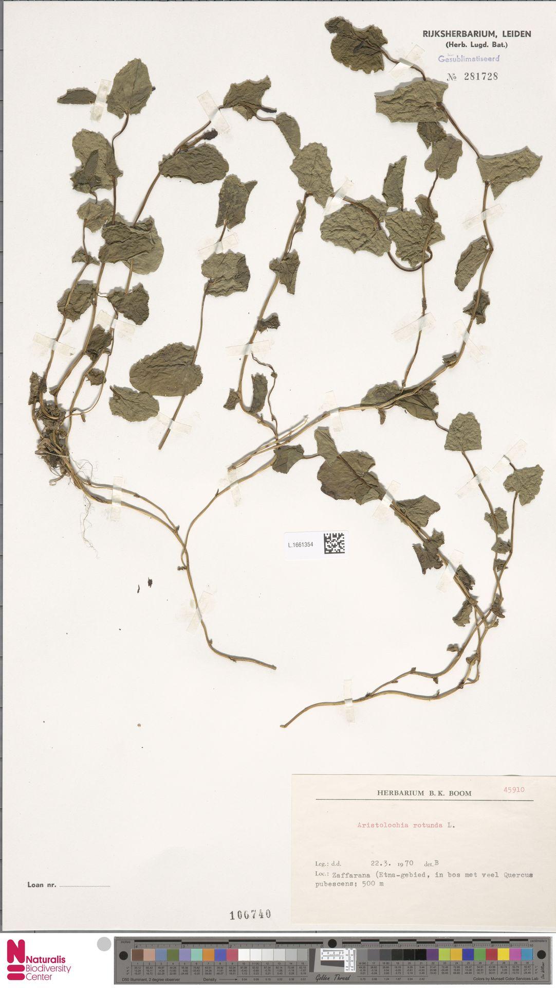 L.1661354 | Aristolochia rotunda L.