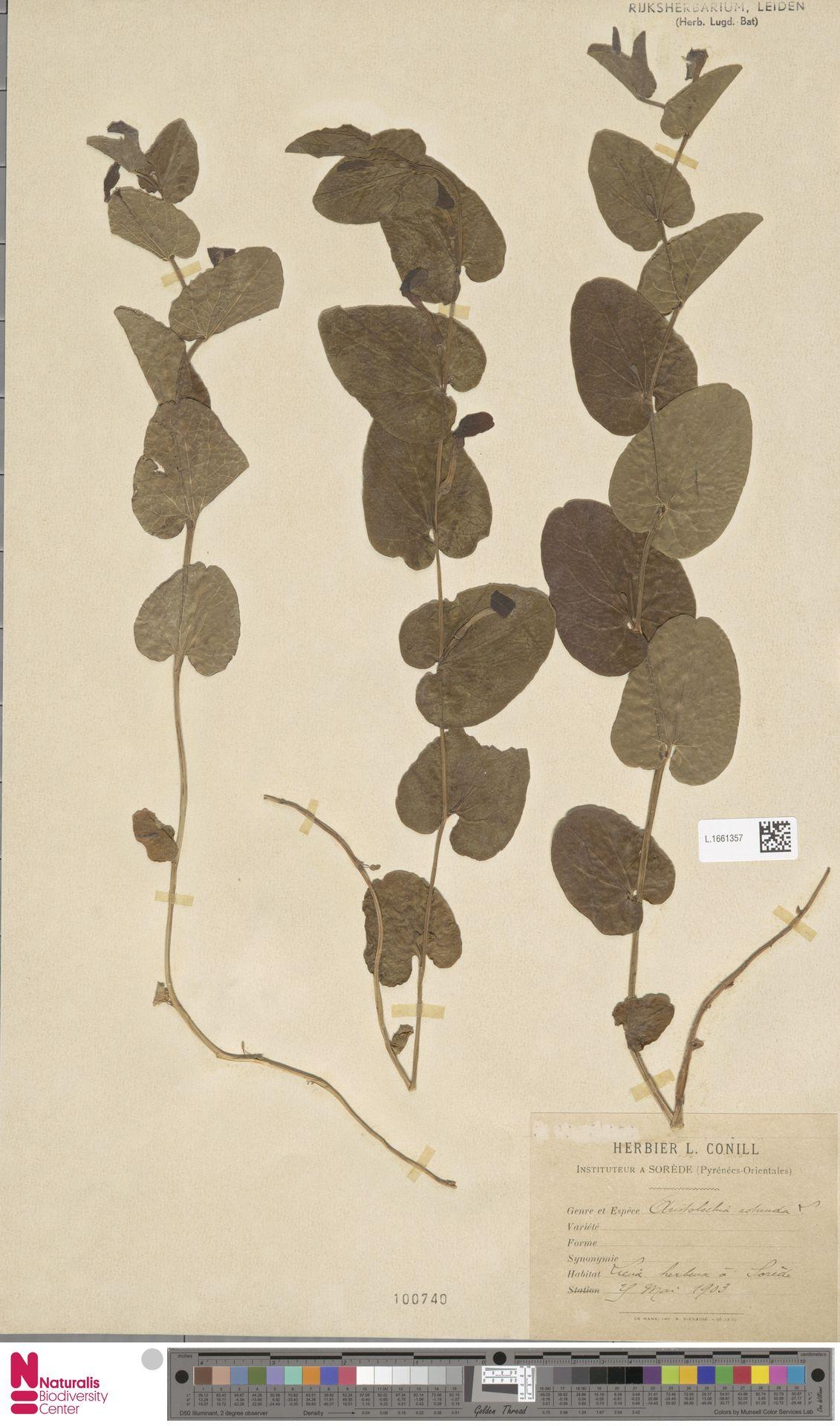 L.1661357 | Aristolochia rotunda L.