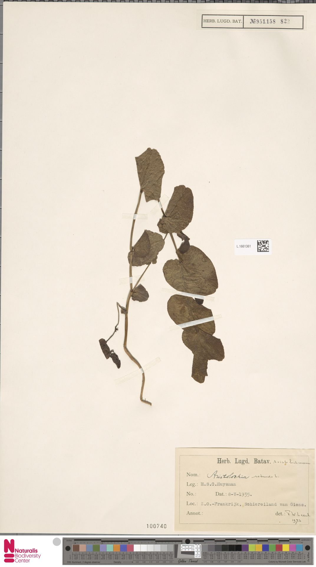 L.1661361 | Aristolochia rotunda L.